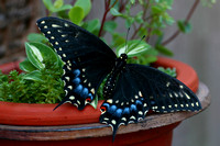 Black Swallowtail Butterfly 1