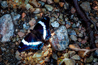 White Admiral Butterfly 2