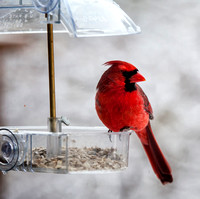 Male Cardinal at Window Feeder 2