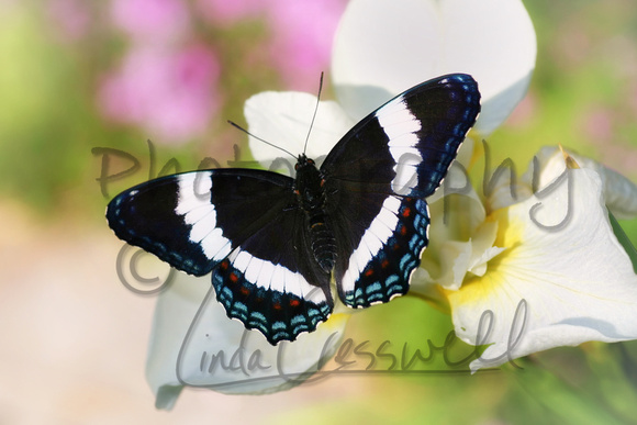 White Admiral Butterfly 1