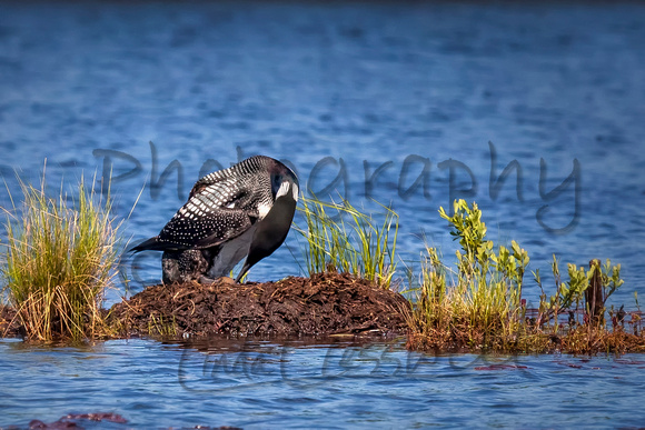 Loon on Nest Rolling Her Egg
