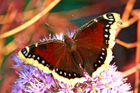 Mourning Cloak Butterfly 1