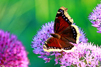 Mourning Cloak Butterfly 2