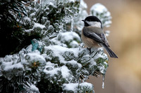 Ice Storm Chickadee